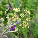 Foeniculum vulgare 'Rubrum' - Foeniculum vulgare 'Rubrum' - Bronzen venkel