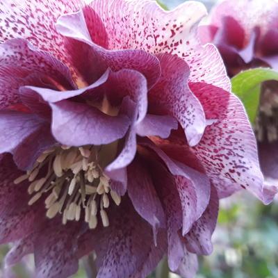 Helleborus x hybridus 'Diana' -