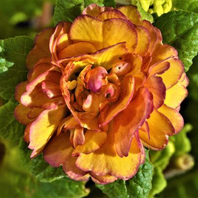 Primula vulgaris BELARINA 'Nectarine' -