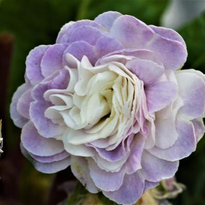 Primula vulgaris BELARINA 'Pink Ice' -