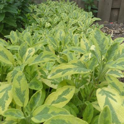 Salvia officinalis 'Icterina' - Salie, smalbladige salie - Salvia officinalis 'Icterina'