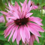 Echinacea purpurea 'Doubledecker' - Rode zonnehoed - Echinacea purpurea 'Doubledecker'