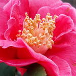 Camellia japonica 'Doctor King' - Camelia