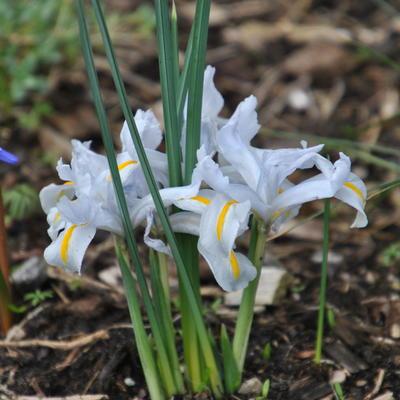 Iris reticulata 'White Caucasus' -