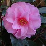 Camellia 'Spring Festival'  - Camellia 'Spring Festival'  - Camelia