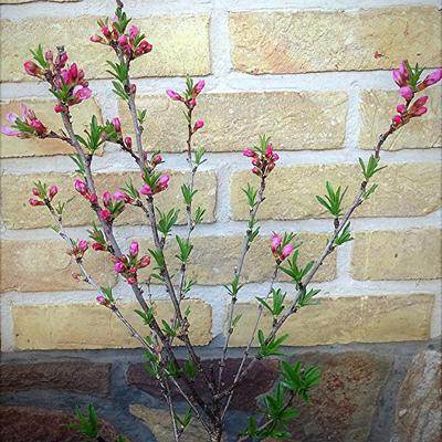 Prunus 'Comet' -