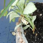 Fittonia verschaffeltii -