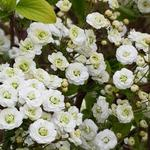 Spiraea prunifolia - Spierstruik - Spiraea prunifolia