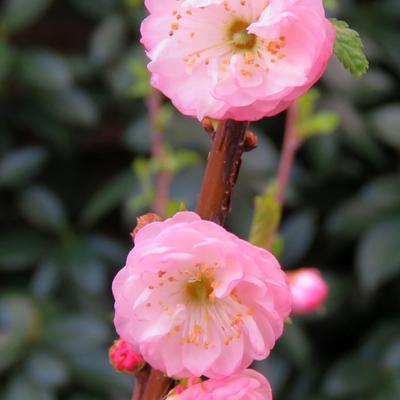 Prunus Triloba  -
