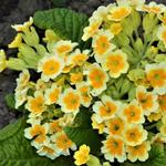 Sleutelbloem, Gulden sleutelbloem - Primula veris 'Lime with Orange'