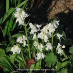 Hyacinthoides hispanica 'Alba' - Hyacinthoides hispanica 'Alba' - Wilde hyacint, Boshyacint