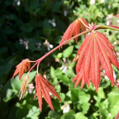 Acer shirasawanum 'Moonrise' -