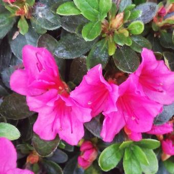 Rhododendron 'Fumiko'