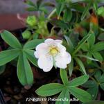 Potentilla alba - Ganzerik/vijfvingerkruid - Potentilla alba