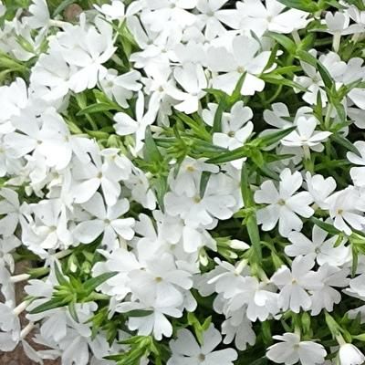 Phlox subulata 'EARLY SPRING White' -