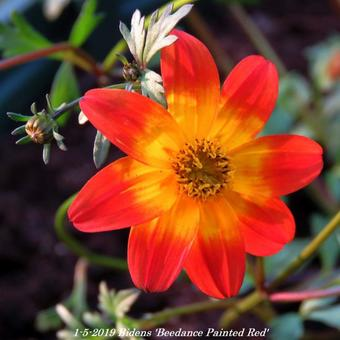 Bidens 'Beedance Painted Red'