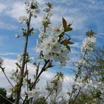 Prunus avium 'Bigarreau Blanc et Rose' - Prunus avium 'Bigarreau Blanc et Rose' - Kerselaar, Kersenboom, Zoete kers, witbuiken
