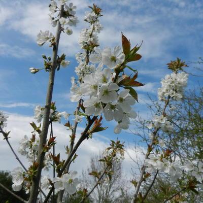 Prunus avium 'Bigarreau Blanc et Rose' -