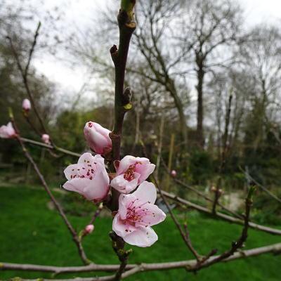 Prunus persica 'Peregrine' -