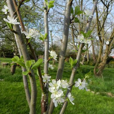 Prunus domestica ´Belle de Louvain´ -