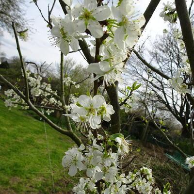 Prunus Domestica 'Reine Claude Verte' -