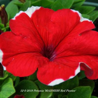 Petunia 'MADNESS Red Picotee'