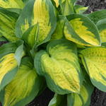 Hosta 'Sunset Grooves' - Hartlelie/Funkia
