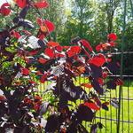 Corylus avellana 'Rode Zellernoot' - Hazelnoot Rode Zellernoot - Corylus avellana 'Rode Zellernoot'