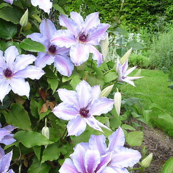 Clematis 'The First Lady'