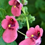 Diascia barberae 'Blackthorn Apricot' - Elfenspoor