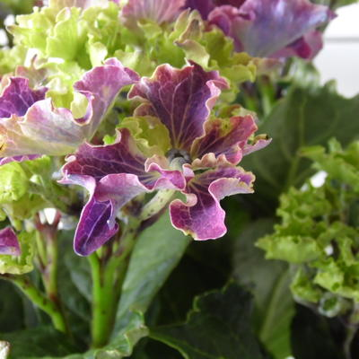 Hydrangea macrophylla 'CURLY SPARKLE Purple' -