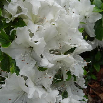 Rhododendron 'Mary Helen'