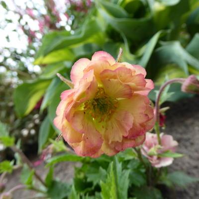 Geum 'PRETTICOATS Peach' -