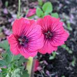 Geranium cinereum 'Jolly Jewel Salmon' - Ooievaarsbek