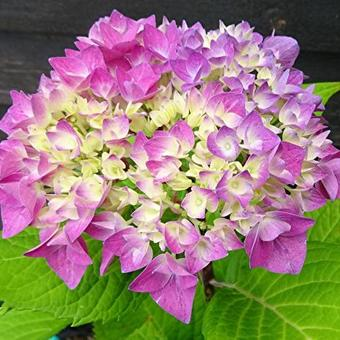 Hydrangea macrophylla FLAIR & FLAVOUR 'Sweet Cupcake'