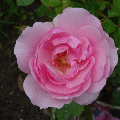 Rosa 'Pink Climber' - Roos, klimroos