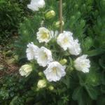 Klokjesbloem, Prachtklokje - Campanula persicifolia  'Grandiflora Alba'