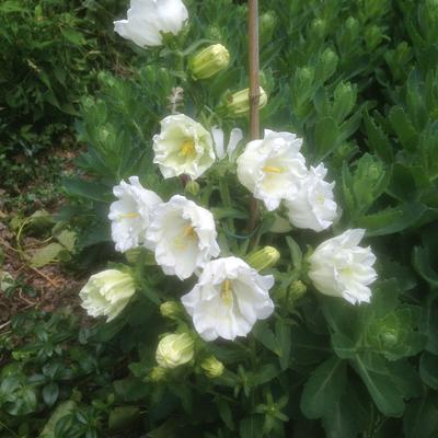 Campanula persicifolia  'Grandiflora Alba' - Klokjesbloem, Prachtklokje - Campanula persicifolia  'Grandiflora Alba'