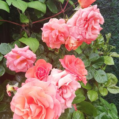 Rosa 'Newsflash' -