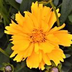 Meisjesogen - Coreopsis grandiflora 'Presto'