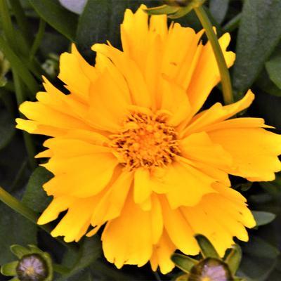 Coreopsis grandiflora 'Presto' - Meisjesogen - Coreopsis grandiflora 'Presto'