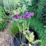 Iris ensata 'Variegata' - Japanse iris - Iris ensata 'Variegata'