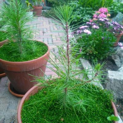 Pinus pinaster -