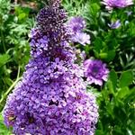 Buddleja davidii 'BUZZ  Purple' - Vlinderstruik