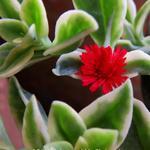 Aptenia cordifolia 'Variegata' - Aptenia cordifolia 'Variegata' - IJskruid, Sodaplant