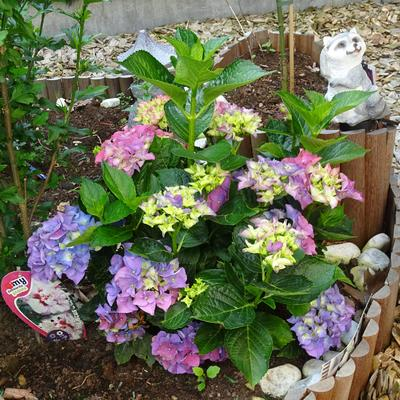 Hydrangea macrophylla 'MAGICAL Four Seasons' -