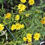 Buphthalmum salicifolium 'Alpengold' - Buphthalmum salicifolium 'Alpengold' - Koeieoog