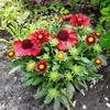 Gaillardia aristata 'Spintop Red'