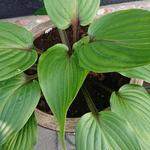 Hosta 'Purple Heart' - Hartlelie/Funkia