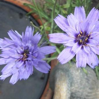 "Catananche caerulea ""Major"""